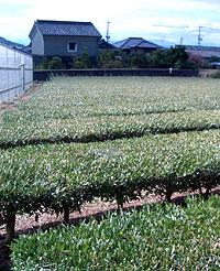 オリーブ茶畑